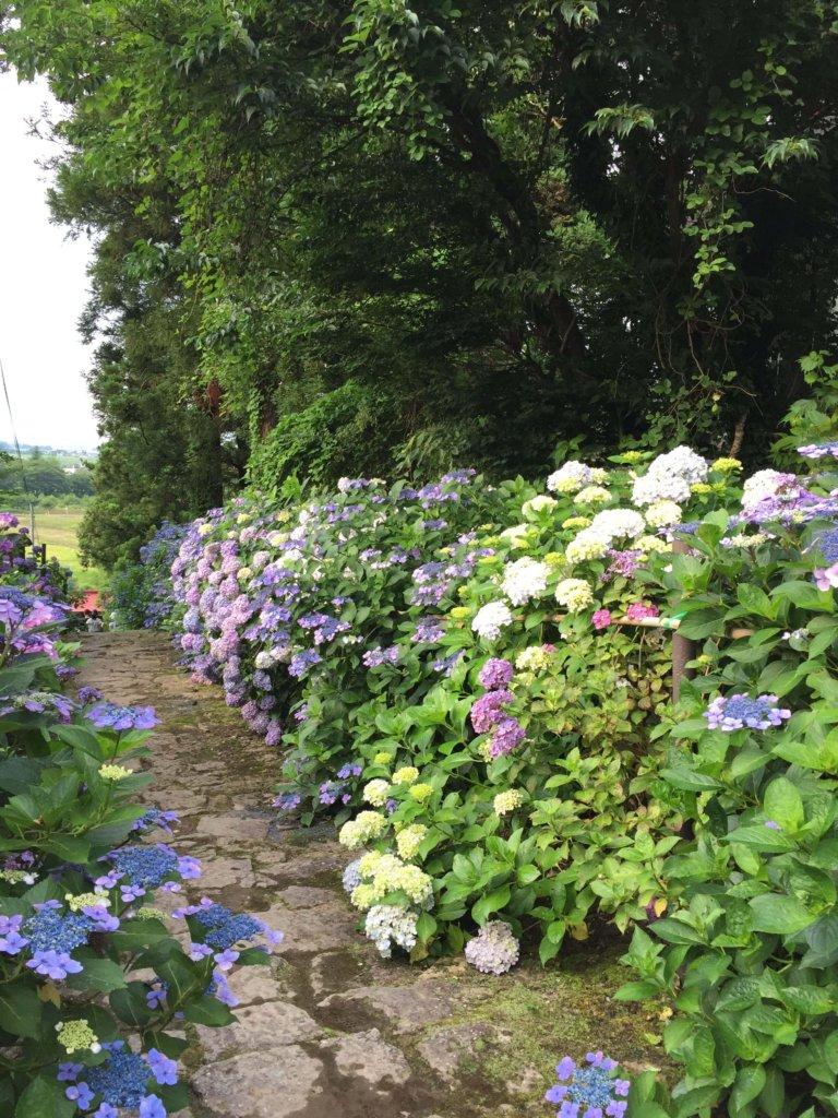 紫陽花の小道